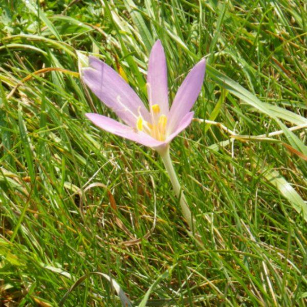 牧場にクロキカムの花が満開