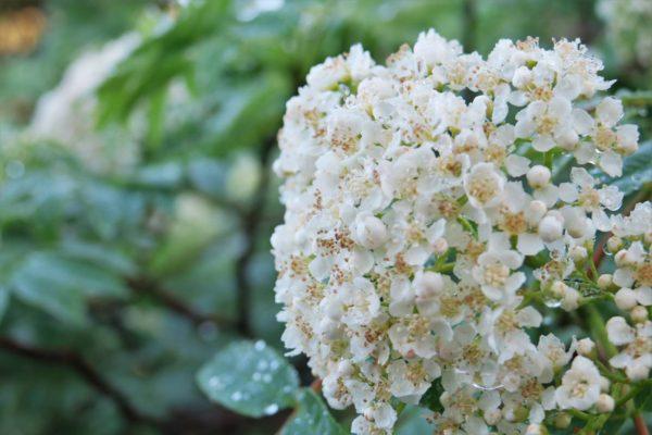 ナナカマドの花も満開