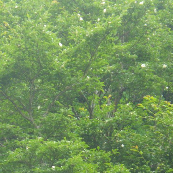 3 沙羅の木が満開。こんな大木になるのですね