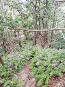 長坂の頭・臼杵岳へは鬼ヶ牙本峰の道を少し戻りシダが生えている道へ。分岐にテープはありますが、道標がないので見落としに注意。